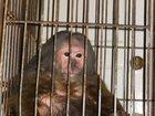 Фото в Домашние животные Другие животные Порода тибетская макака девочка 17 лет. Средняя в Екатеринбурге 25000