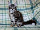 Фото в Кошки и котята Продажа кошек и котят Фото котят мейн кун не передают всей красоты в Екатеринбурге 20000
