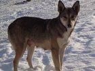 Фото в Потерянные и Найденные Потерянные 17 июля 2015 потерялась собака, окрас волчий. в Екатеринбурге 0