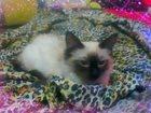 Изображение в Потерянные и Найденные Найденные 21 июля 2015 потерялась сиамская кошечка в Екатеринбурге 0