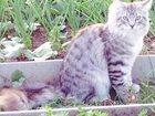 Фотография в Потерянные и Найденные Потерянные Пропал молодой котик Тоша, 10 мес. , серо-голубой в Екатеринбурге 0
