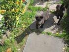 Фотография в Собаки и щенки Продажа собак, щенков продаю щенка немецкой овчарки. Полностью в Екатеринбурге 6000