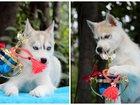 Изображение в   Продаются бело-генные щенки породы сибирский в Екатеринбурге 20000