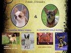 Изображение в Собаки и щенки Продажа собак, щенков У нас родились малыши породы чихуахуа. В в Екатеринбурге 0