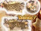 Фото в Кошки и котята Продажа кошек и котят Профессиональный питомник бенгальских кошек в Екатеринбурге 25000