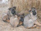 Фотография в Собаки и щенки Продажа собак, щенков Щенки немецкой овчарки возраст полтора месяца в Екатеринбурге 7000