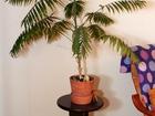 Фото в Мебель и интерьер Другие предметы интерьера Продам комнатную пальму с подставкой. Це в Екатеринбурге 6800