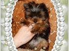 Изображение в Собаки и щенки Продажа собак, щенков Красивые высокопородные декоративные щенки в Екатеринбурге 25000