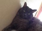 Фотография в   Потерялся пушистый, серый кот. Зовут Мотя. в Екатеринбурге 0