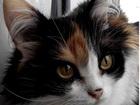 Скачать фото Найденные Пропала трехцветная кошка у реки в р-не Новофомино Сысер, р-н, 36773080 в Екатеринбурге