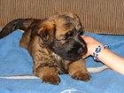 Фотография в Собаки и щенки Продажа собак, щенков Продаются щенки ирландского мягкошерстного в Нижней Туре 15000