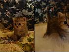 Фотография в Кошки и котята Продажа кошек и котят Готовы для брони очаровательные ляльки шотландской в Екатеринбурге 0