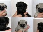 Фотография в Собаки и щенки Продажа собак, щенков Очаровательные мопсята, начинают искать себе в Екатеринбурге 20000