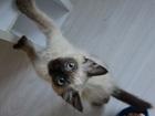 Свежее фото  Отдам котенка-девочку сиамского окраса 37274145 в Екатеринбурге