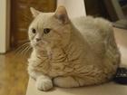 Фото в   Отдам в добрые руки британского кота Самсона. в Екатеринбурге 0