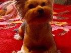 Фото в Собаки и щенки Вязка собак Йорк стандарт 4года 8 месяца серебро , добрый, в Екатеринбурге 0