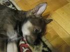 Фото в   Если Вы ищете щенка для частного дома или в Екатеринбурге 0