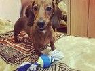 Фото в Собаки и щенки Вязка собак ТАкса мини   3 года окрас светло-коричневый в Екатеринбурге 0