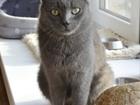 Фотография в   Отдается в добрые руки голубая кошка Нюша. в Екатеринбурге 0