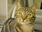 Фото в   Ищет добрые руки красивущая глдкш кошка мраморного в Екатеринбурге 0