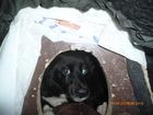 Фото в Потерянные и Найденные Потерянные Найдена маленькая черная собачка в ошейнике в Екатеринбурге 0