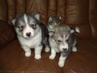 Изображение в Собаки и щенки Продажа собак, щенков Продаются щенки Аляскинского маламута и Лайки. в Екатеринбурге 2500