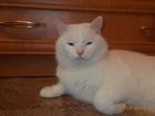 Изображение в Кошки и котята Вязка Кот готов к вязке , 1. 5 года , район уралмаш в Екатеринбурге 0