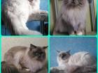 Изображение в   Кот и пошка породы Ragdoll (кошка-кукла). в Екатеринбурге 35000