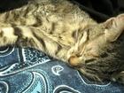 Новое фото  Найдена камышовая кошка/котенок (Вторчермет, Екатеринбург) 39924051 в Екатеринбурге