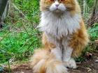 Уникальное foto Вязка кошек Ищем подругу для кота породы хайленд - фолд, 51660823 в Екатеринбурге
