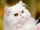 Скачать фотографию Вязка кошек СРОЧНО Нужен партнер для персидской кошечки, 52954171 в Екатеринбурге