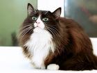 Увидеть изображение  Муся-Обнимашка, очень ласковая кошка 3г, 59661529 в Екатеринбурге