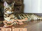 Уникальное фото Вязка кошек Вязка с Бенгальским котом, 68012202 в Екатеринбурге