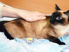 Смотреть изображение  Тринити, Кошка тайского окраса, 5 лет 69239013 в Екатеринбурге