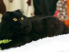 Скачать бесплатно изображение  Экселленс, Черная кошка с апельсиновыми глазами, 2г, 69742807 в Екатеринбурге