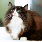 Муся-Обнимашка, очень ласковая кошка 3г.