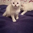 Продажа котят сиамские метисы