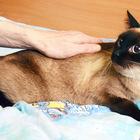 Тринити, Кошка тайского окраса, 5 лет