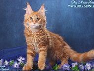 Продаются котята мейн кун Продаются кошечки и котики мейн кун, с документами, ко