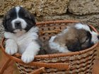 Фото в Собаки и щенки Корм для собак Щенки родились 03. 09. 2015. С документами в Евпатория 18000