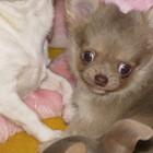 Серебристый Жемчуг- мини-щенок чихуахуа