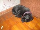 Фотография в Собаки и щенки Продажа собак, щенков АМ ПИТБУЛЬТЕРЬЕР 1, 5 М ОКРАС ЧЕРНОГО ЦВЕТА в Феодосия 12