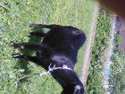 Уникальное фотографию Другие животные продам козу 32998262 в Гатчине
