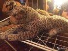 Тигр и Леопард от Melissa