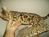 Бенгальские котята Продам котят бенгальской породы 2 мальчика и 4 девочки окрас