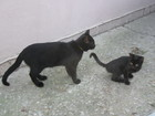 Свежее фотографию Найденные питомцы найдены два черных котенка желтоглазые, 42625507 в Геленджике