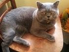 Скачать фото  Вязка с котом Прямоухий шотландский кот на вязку 58264721 в Геленджике