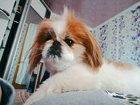Просмотреть фото Вязка собак дружелюбный пекинес ищет свою невесту, 38985558 в Горячем Ключе