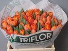 Свежее фото  Тюльпаны оптом Хабаровск прямая поставка из Голландии 34530093 в Хабаровске