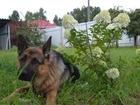 Фото в   Кобель немецкой овчарки ищет себе подругу;)Мальчика в Хабаровске 0